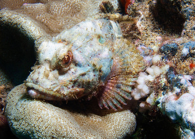 At first I thought I had a Devil scorpionfish here, but once I got to see the photo on my computer screen, I started ticking off ID points: Snub nose? Check. Peach-colored eye? Check. No prounounced hump? Check.  This is my first ever photo of the rather rare Shortsnout scorpionfish (Scorpaenopsis brevifrons)!