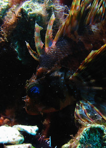 A fantastic Green lionfish (Dendrochirus barberi), showing off incredible coloration...