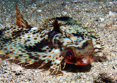 A magnificent Flying gurnard (Dactyloptena orientalis). This species is usually almost impossible to photograph from the front, as they tend to flare those wings out and spin on their pectoral fins, nearly always presenting their tails. However, this one was good enough to stay put for a bit...or else it was asleep...