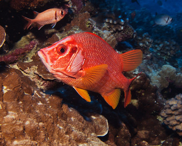 A rather large and curious Longjaw squirrelfish (Sargocentron tiere), with a few of his smaller and less showy relatives in the background...