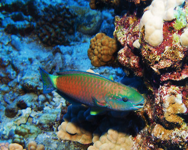 A beautifully colored Bullethead parrotfish male (Chlorurus spilurus)