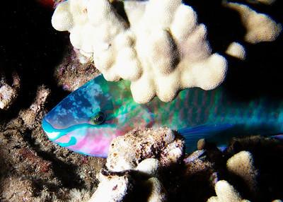 Sleeping terminal male Redlip parrotfish (Scarus rubroviolaceus)--macro detail