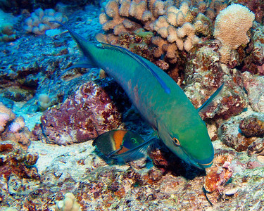 Take a bite! A Bullethead parrotfish (Chlorurus spilurus) having a snack, while a nearby Saddle wrasse (Thalassoma duperrey) waits for scraps...
