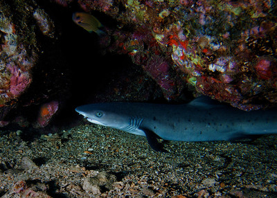 Juvenile Whitetip reef shark (Triaenodon obesus), with an Agile chromis (Chromis agilis) swimming in the upper left