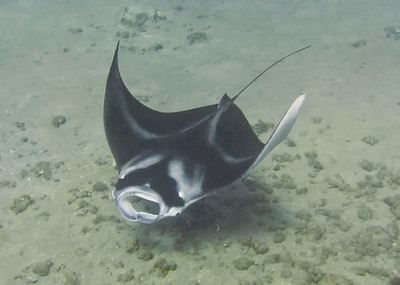 Manta birostris, making a graceful turn...