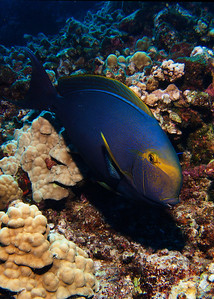A large Eystripe surgeonfish (Acanthurus dussumieri) is curious about me....
