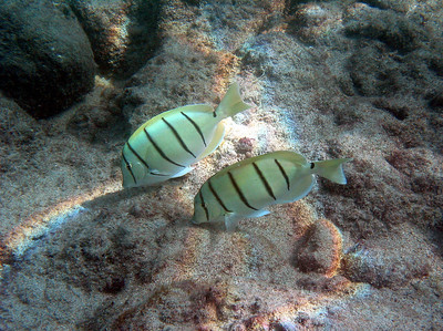Two convict tangs (Acanthurus triostegus) browsing the shallows