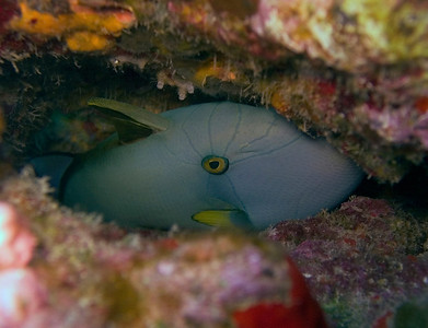 A pinktail triggerfish (Melichthys vidua) playing it safe. This is a sub-adult phase, hence the unusal coloration.