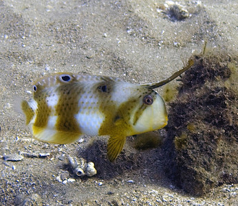 A razor wrasse (Iniistius pavo) getting ready to dart into the sand if I make the slightest move.