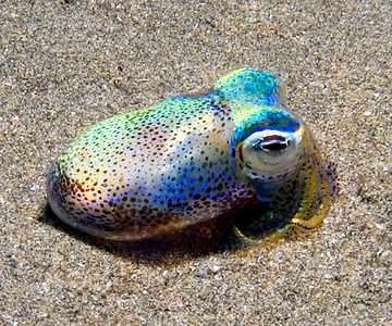 A rare sight we're sometimes treated to on our night dives--the Hawaiian bobtail squid (Euprymna scolopes)