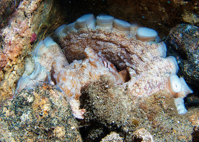 When I first glanced down into this hole, my eyes didn't quite register what I was seeing for a moment.  This is a VERY large Day octopus (Octopus cyanea), bedded down for the night...