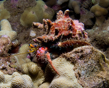 Bloody hermit crab (Dardanus sanguinocarpus)
