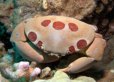Seven-eleven crab (Carpilius maculatus)