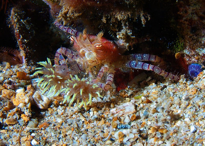 Another look at L. edmondsoni brandishing its anemones...yet another amazing creature that's only found in Hawaii!