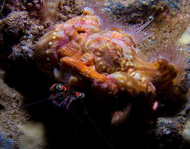 Jeweled anemone crab (Dardanus gemmatus)