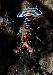 Another odd find--this is some species of Spiny lobster (a juvenile, it was only about 10 cm long), but between the showy tail and the lack of antennae (unless it lost both of them?) I'm not sure of the ID on this one either.