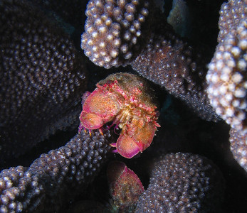 Juvenile Scaly slipper lobster (Scyllarides squammosus)
