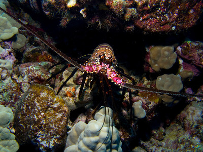 Spiny lobster (Panulirus marginatus)