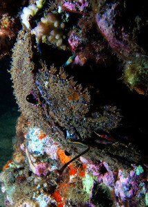 Sculptured slipper lobster (Parribacus antarcticus)