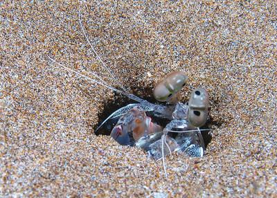 Spearing mantis shrimp (Oratosquilla calumnia)
