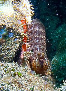 Ciliated mantis shrimp (Psudosquilla ciliata)