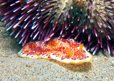 The displeased Red spotted nudibranch (macro detail)