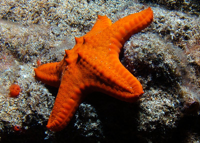 This is a rare find at shallow depths-- a juvenile Knobby sea star (Pentaceraster cumingi), usually only found at depths greater that 100'. I spoke with sea star expert Christopher Mah, and he not only feels that ID is probably correct, but told me it's one of the first accounts of a juvenile of this species! Check out Christopher's blog at  http://echinoblog.blogspot.com/