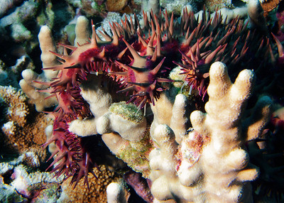 A. Planci wrapping itself around finger coral...it will soon evert its stomach and digest the coral polyps, leaving a white skeleton behind.