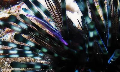 White-stripe urchin shrimp (Stegopontonia commensalis), macro detail.