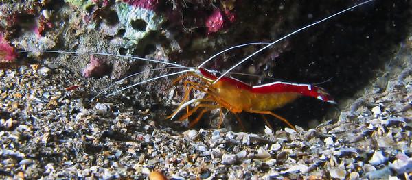 Scarlet cleaner shrimp (Lysmata amboinensis)