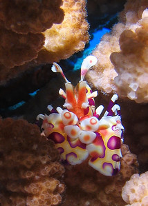One of the prettiest creatures on the reef, the rare and lovely Harlequin shrimp (Hymenocera picta)