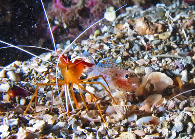 ...Scarlet cleaner shrimp (Lysmata amboinensis) with good friend....which I'm fairly sure is a Twospot sand goby (Coryphopterus duospilus).