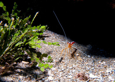 A very eager and enthusiastic Scarlet cleaner shrimp (Lysmata amboinensis).