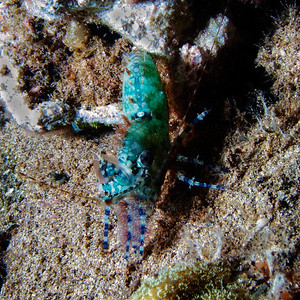 A female Marbled shrimp (Saron marmoratus)