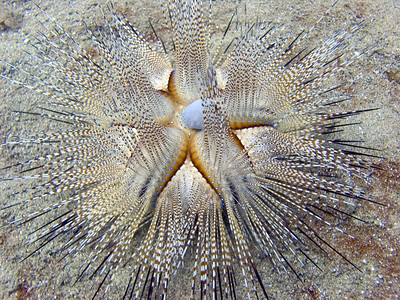 Blue-spot sea urchin (Astropyga radiata)