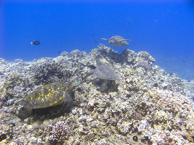 Green sea turtles (Chelonia mydas)