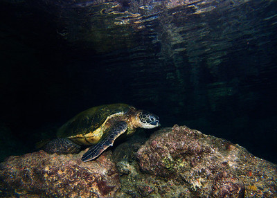 "At Makena Landing, there's a cavern that's popularly known as the ""Bubble Cave"" because of the large air pocket inside. I caught this Green sea turtle (Cheloina mydas) resting on a ledge, just below the surface of the grotto..."
