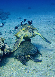 Green sea turtles (Chelonia mydas)--sometimes honu compete for the best cleaning spots...