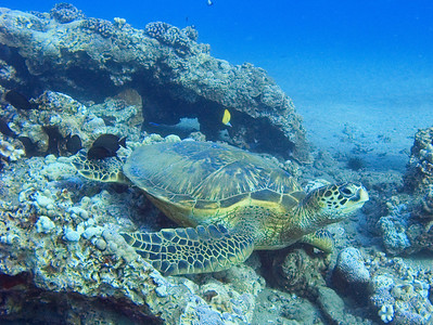Green sea turtle (Chelonia mydas), glamour pose...