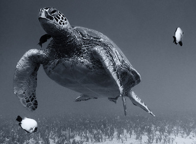 Green sea turtle (Chelonia mydas),  one of my favorite Honu portraits and one of my very best black and white studies...