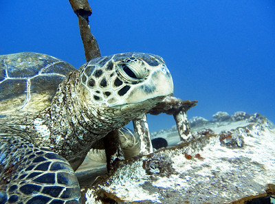 Green sea turtle (Chelonia mydas) resting on the St. Anthony