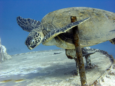Green sea turtle (Chelonia mydas) on the St Anthony