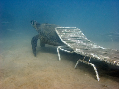 Green sea turtle (Chelonia mydas), scratching her back on a beach chair washed out to sea by a recent storm...