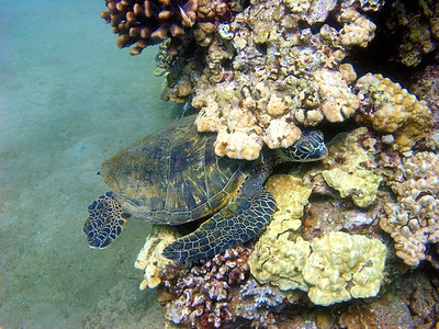 Green sea turtle (Chelonia mydas), 20% hidden...