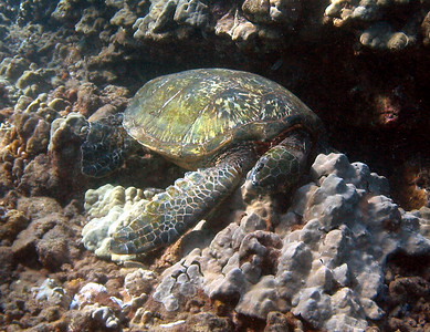 Green sea turtle (Chelonia mydas).  We've all had mornings like this, right? This is one of the first underwater pics I ever took, with an old 3 mp Canon G2...but I'll never get a pose this good again.