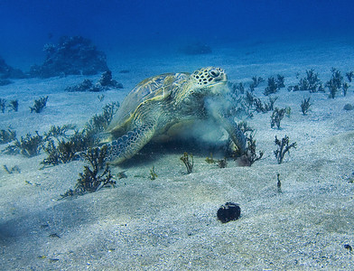 Green sea turtle (Chelonia mydas), having a Halimeda snack.