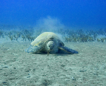 Green sea turtle (Chelonia mydas), with some messy eating habits...