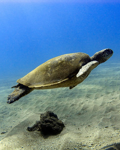 Green sea turtle (Chelonia mydas), on an absurdly clear day in the water...
