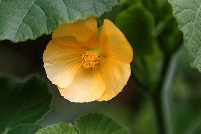 """""""Ma'o"""" (Gossypium tomentosum)"""