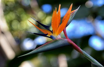 """""""Paradise"""" (Strelitzia reginae - Kula Botanical Gardens)"""